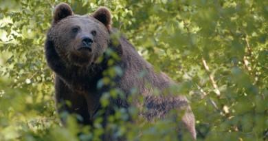 L'orso rispunta a Pioverno e si fa una scorpacciata di miele