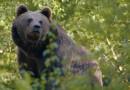A Ravascletto si parla del ritorno degli orsi in Carnia