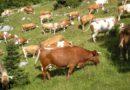 Tolmezzo ospita la tradizionale asta bovina di fine alpeggio