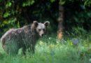 Sulle tracce degli orsi in Friuli Venezia Giulia: storie, itinerari e fotografie