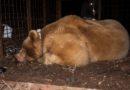 Anche l'Orso Francesco, catturato ad Enemonzo, ha il suo nuovo collare. Ecco il VIDEO