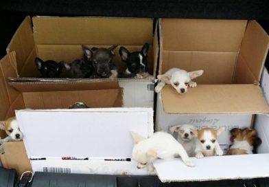 Sequestrati a Gorizia 34 cuccioli in stato di maltrattamento e paura